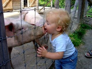 Child-licks-pig-snout